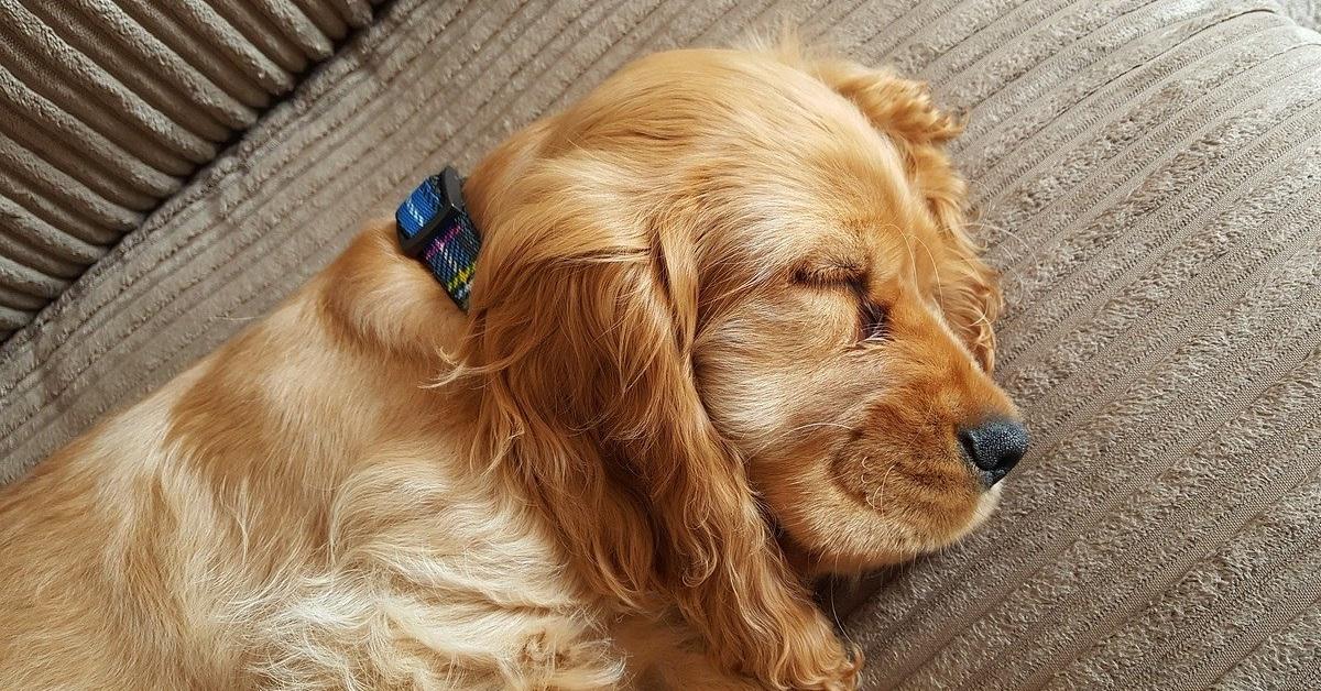 truffinade chien dodo sommeil - Truffi-conseils-Covid-19-16 / La nécessité d'avoir un chien reposé