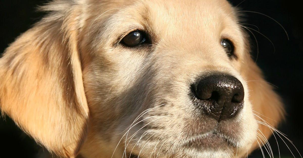 truffinade un chien qui pleure la nuit - Un chiot qui pleure