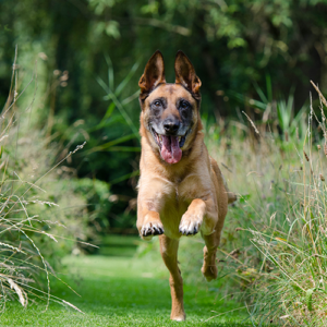 Truffinade agressivite chien reeducation 1 300x300 - L'agressivité d'un chien