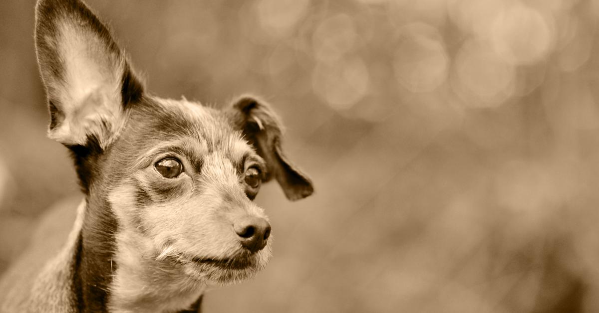 Truffinade image a la une promener chien sourd - Balader un chien sourd en libre…vous pensez que ce n'est pas possible ?…et bien si !!!