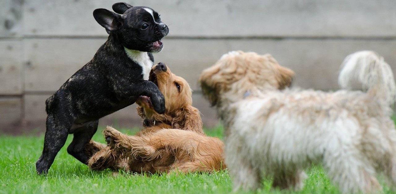 truffinade accueillir un chien - Comment accueillir un nouveau chien dans un lieu de vie quand il y a déjà un ou plusieurs congénères...?