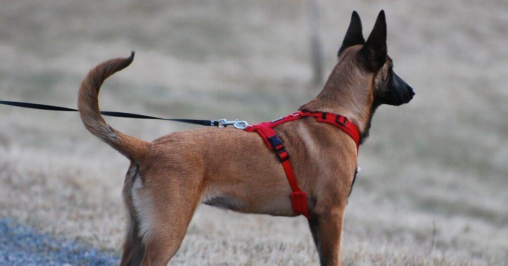 truffinade un chien qui tire en laisse 1024x536 - Actualités et conseils