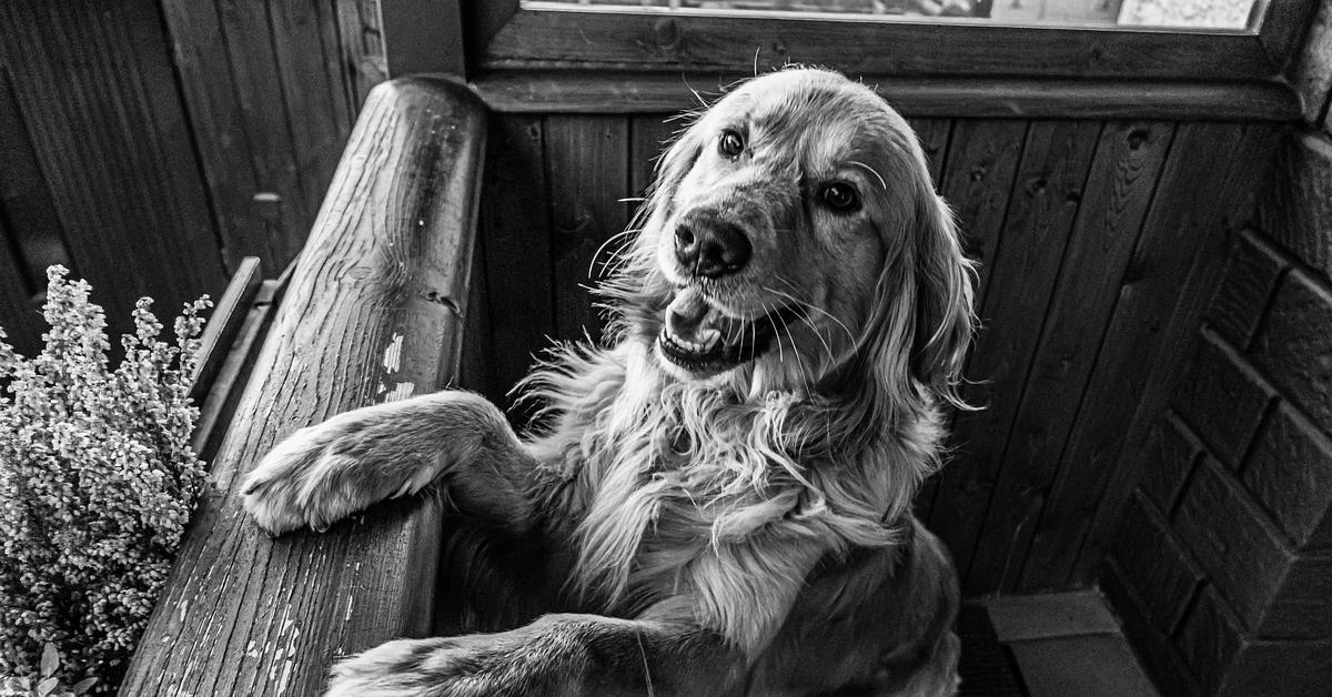 truffinade un chien qui aboie sur ses humains - Un chien qui aboie sur ses humains alors que tout est calme